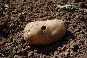 slug damage to potato tuber
