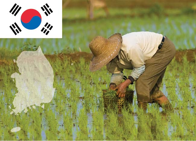 south korea flag and man works on rice field